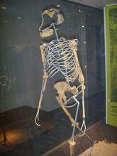 Skelett von Lucy - Nachbildung von Lucys Skelett - Nachbildung im Frankfurter Naturmuseum Senckenberg