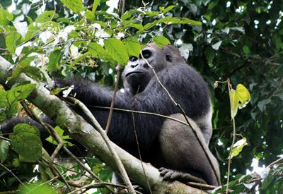 Gorillas leben in den Bergregenwäldern von Kamerun