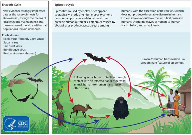 Zyklus des Virus
