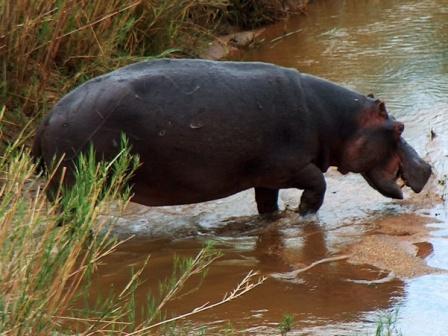 Afrikanisches Flusspferd