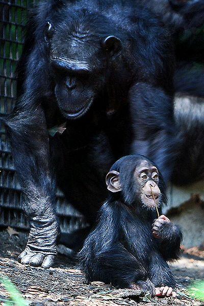 Schimpansenmutter mit Kind