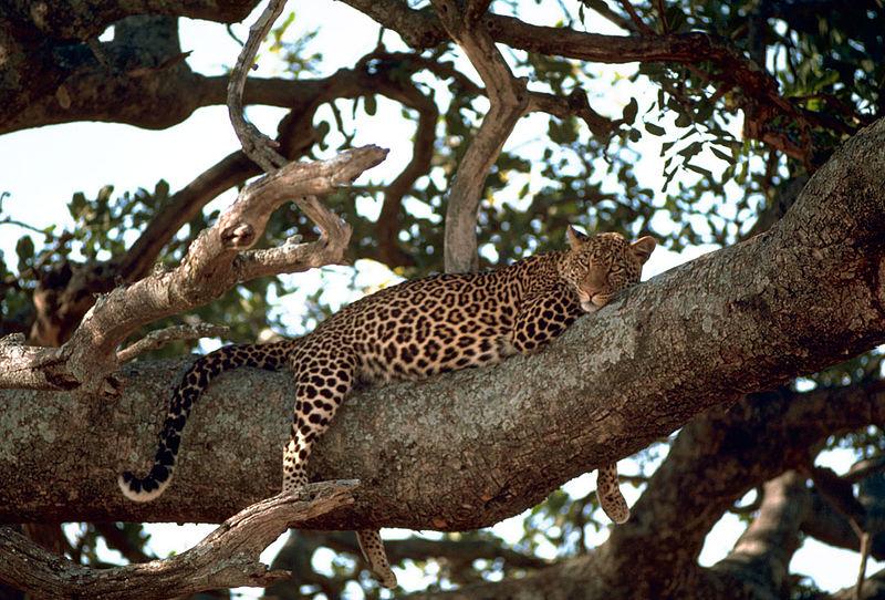 Leopard (c) Billede