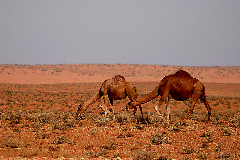 Dromedare in der Sahara